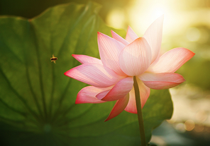 Image Lotus Flower